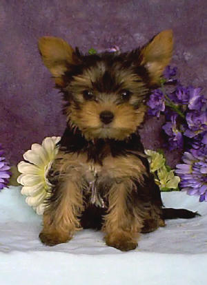 yorkshire terrier pup te koop